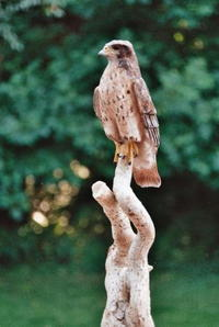 1/3 Scale Red-Tailed Hawk