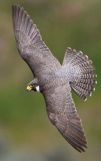 Fall and Rise of the Peregrine Falcon