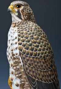 Prairie Falcon, Part Two: Painting