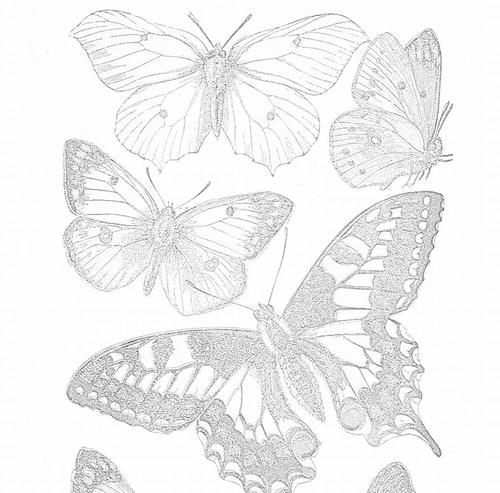 Delicate Butterfly Adult Coloring Pages