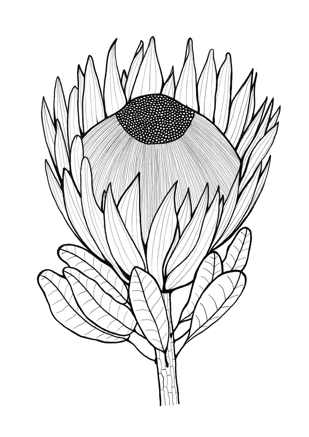 Glorious Protea Flowers to Color AllFreeHolidayCrafts