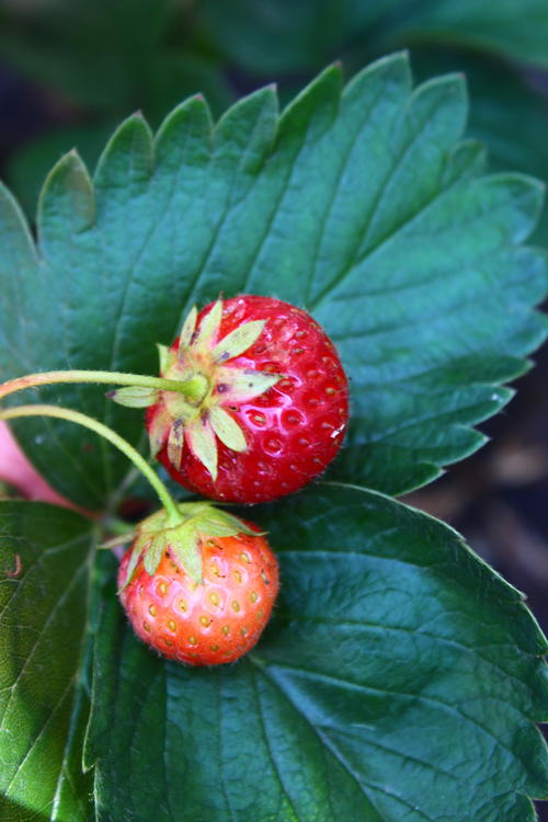 How to Care for Strawberry Plants